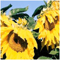 Sunflower Mixed Yellow
